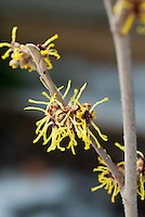 Yellow and red winter flowers of Hamamelis intermedia aka mollis 'Pallida'