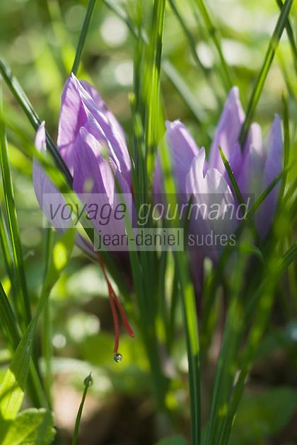 Europe/France/Midi-Pyrénées/46/Lot/Carayac: fleurs de safran   dans la safranière de la ferme de M Pradines  //  France, Lot, Carayac, Monsieur Pradines's farm,   Crocus sativus flowers, saffron flowers