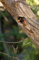 Male Trogon calling from nest; Chiricahua Mountains, Arizona