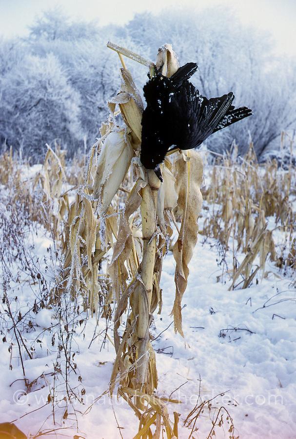 Saatkrähe, Saat-Krähe, Krähe, zur Abschreckung weiterer Krähen getötet und an Maispflanze aufgehängt, Corvus frugilegus, rook