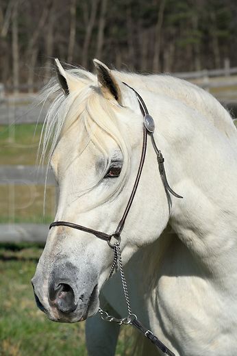 """White horse head shot portrait with long flowing forelock hair, beautiful Arabian stallion """"EC Special Edition aka Solly""""."""