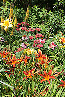 Hemerocallis daylily, Monarda beebalm, Echinacea coneflowers, Ligularia in lush colorful summer perennial flowers garden