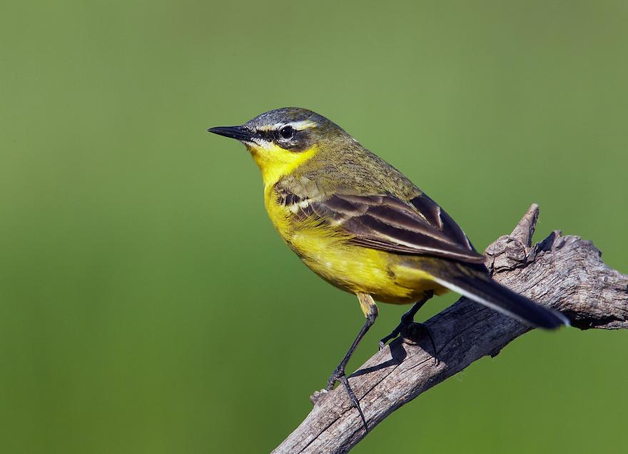 Yellow Wagtail  (Motacilla flava) Pusztaszer Nature Reserve, Hungary
