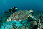 Diver with Green Sea Turtle (Chelonia mydas) in Tubbataha Reef, Sulu Seas, Palawan, Philippines. 13 April 2009