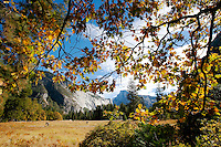 Fall colors in a meadow near Half Dome..The autumn season in Yosemite National Park. Leaves and grasses all around the park are changing to their fall colors, and rain and snow are beginning to fall.