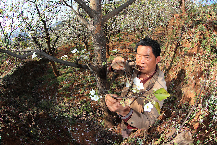 Decline of bees forces China's apple farmers to pollinate by hand
