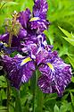 Iris ensata 'Suishin', end June.