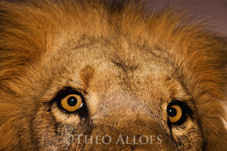 Botswana, Kalahari, private game reserve, male lion at dusk, portrait, captive