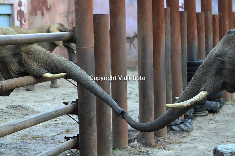 Foto: VidiPhoto..RHENEN - Contact! De twee nieuwe Afrikaanse olifantenvrouwtjes Tembo en Sabi (l) van Ouwehands Dierenpark in Rhenen, mochten vrijdag voor het eerst naar buiten. Extra spannend was het omdat ze ook voor het eerst mochten kennismaken met de rest van de kudde: bul Tooth en de vrouwtjes Duna en Aja. Omdat de nieuwe vrouwtjes, afkomstig uit het Duitse Augsburg, nogal dominant zijn, wordt er geen risico genomen en worden beiden groepen voorlopig nog gescheiden door grote stalen palen..