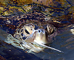 Feeding time in the Turtle Lagoon area of the Atlantis Resort complex on Paradise Island in Nassau in the Bahamas on Sunday February 25, 2007. Photo by Jim Peppler. Copyright Jim Peppler/2007.