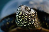 European Pond Turtle (Emys orbicularis) in its habitat of hard wood flood plain forests along the upper Danube basin, Gornje Podunavlje Special Nature Reserve, Serbia