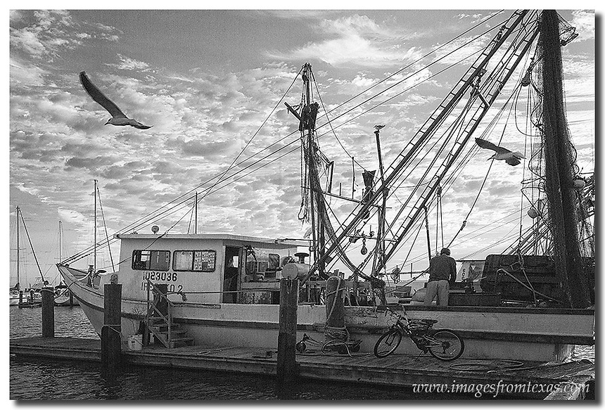 A shrimp boat unloads its cargo after its nightly venture. This is Rockport harbor. Above the shrimper, gulls fly overhead in hopes of picking up a quick meal. Along the the Texas coast, scenes like this play out every morning.