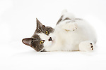 Gray and White Tabby Cat on White