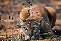Florida Panther (Puma concolor coryi) in Florida.  Endangered species.