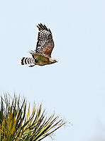 Red Shouldered Hawk in flight in Viera Wetlands