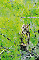 Great Horned Owl, Bubo virginianus , young in nest in mesquite tree, Willacy County, Rio Grande Valley, Texas, USA