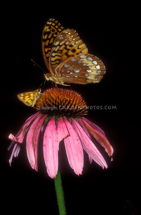 Closeup of 2 different Butterflies on Echinacea purpurea: Great Spangled Fritillary & Peck's Skipper in New Jersey atop purple coneflower, entire flower visible, both insects sharp against black background. Speyeria cybele & Polites peckius