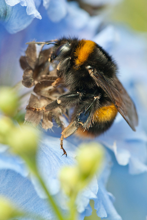 Bee on delphinium flower, mid June.