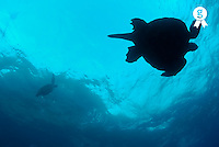 Silhouette of two green turtles (Chelonia mydas), underwater view (Licence this image exclusively with Getty: http://www.gettyimages.com/detail/200503605-001 )