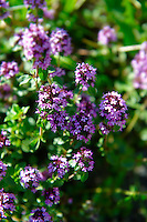 Flowering Thyme
