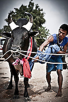 """Widely spread in Asia, the bull fighting is one of the most famous """"games"""" for entertainment. During weeks the bulls are trained to face every end of the month a new encounter, when the owners and fans are betting a lot of money. The """"game"""" gives an enormous amount of fun to many people as well."""