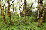 Prairie Creek Redwoods State Park, Orick, California; trees covered in moss near Fern Canyon