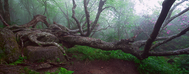 Rhododendron In An Ancient Forest Craggy Pinnacle Trail Craggy Gardens Jerry Greer Photography