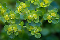 Opposite-leaved Golden Saxifrage {Chrysosplenium oppositifolium}. Peak District National Park, Derbyshire, UK. March.