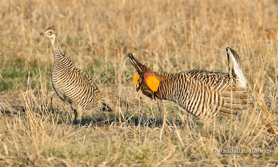 A male Greater Prairie Chicken, right, follows a hen during mating season near Grand Island Nebraska.
