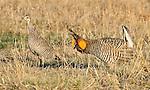 A male Greater Prairie Chicken, right, follows a hen during mating season near Grand Island Nebraska.