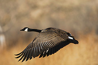 Canada Goose, (Branta canadensis), adult, Bosque del Apache National Wildlife Refuge , New Mexico, USA