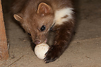 Steinmarder, Stein-Marder, Marder mit Hühnerei, Ei, Eierdieb, hält Ei mit den Vorderpfoten fest und öffnet es in typischer Weise mit den Zähnen, Martes foina, beech marten, stone marten