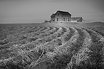 Washington, Ritzville. Furrows of winter wheat lead to a distant abandoned farmhouse.