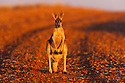 Australia,  NSW, Sturt National Park; red kangaroo group (Macropus rufus); the red kangaroo population increased dramatically after the recent rains in the previous 3 years following 8 years of drought