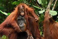 Borneo Orangutan female with its baby (Pongo pygmaeus), Camp Leaky, Tanjung Puting National Park, Kalimantan, Borneo, Indonesia.