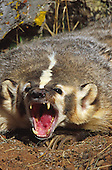 American Badger (Taxidea taxus) snarling, Yellowstone National Park, USA.