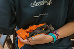 Wildlife carer volunteer Claudia Barton takes care of fruit bat babies (or bubs) in Tolga bat Hospital.  The babies are Spectacled flying fox (Pteropus conspicillatus)