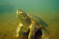 Snapping Turtle, Underwater