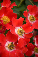 Rosa 'Eyepaint', Handpainted Rose, red flower blossom Shrub Rose