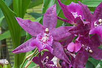 Beallara Peggy Ruth Carpenter Orchid: Beallara Peggy Ruth Carpenter 'Jem' HCC/AOS