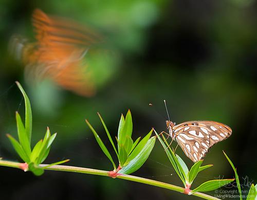 Gulf Fritiallary Butterflies, Vieques, Puerto Rico