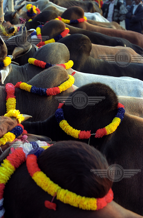 The humps of sacrificial cows at a cattle market adorned with paper garlands.