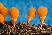 Slime Mold sporangia or fruiting bodies (Myxomycete), Berkeley, California, USA
