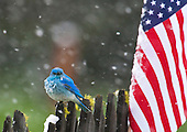 Male Mountain Bluebird (Sialia currucoides) waiting out the 4th of July snowstorm with fluffed feathers (piloerection) near an American Flag, Western USA.