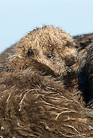 Sea Otter (Enhydra lutris) pup resting with mom.