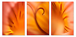 close-up / macro photographic triptych of an orange /peach / yellow alstroemeria flower. Images 173, 174 and 175.