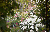 White flowering shrub rose seen through entry arch trellis.