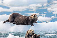 Sea otters hauled out on floating ice bergs, Harriman Fjord, Prince William Sound, southcentral, Alaska.