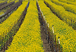 Mustard in Napa Valley, California
