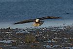 A bald eagle flying over the beach at Homer, Alaska.